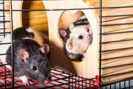 Rats Enriched Environment